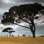 De blé et de pin …