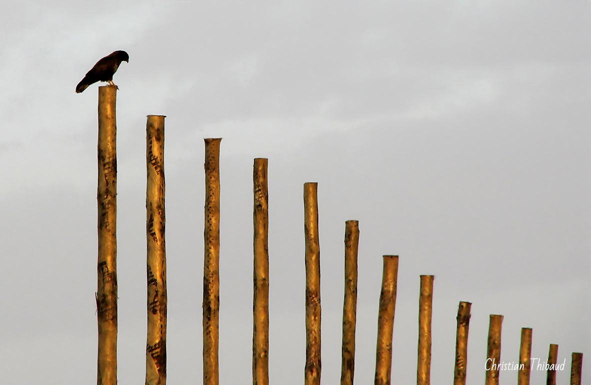 Flûte d'oiseau ...